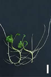 agravitropicroot
