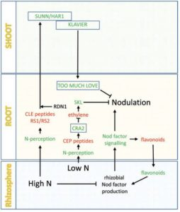 nodulenregulation