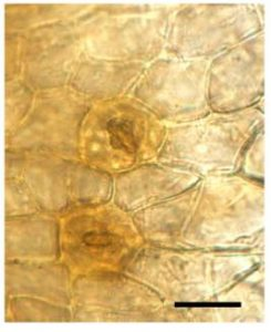 mossstomata