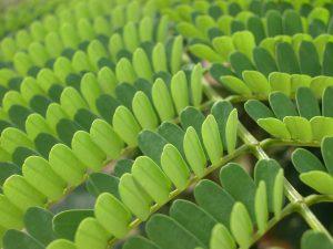 fascinationofplantsday photocontest-3264606660_ee5af1cc67_oLegume Leaf by Lena Struwe