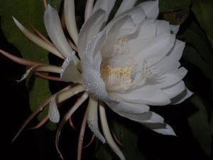 fascinationofplantsday photocontest-p7032947 night bloomer by Xinzhi Ni