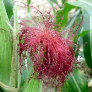 fascinationofplantsday photocontest-silks1 Jason Wallace