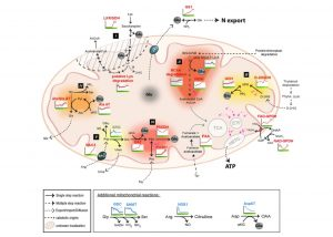 mitochondriasenescence