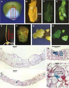 morphogenic